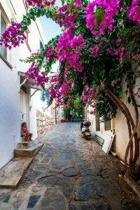 Bougainvillea flowers in Bodrum